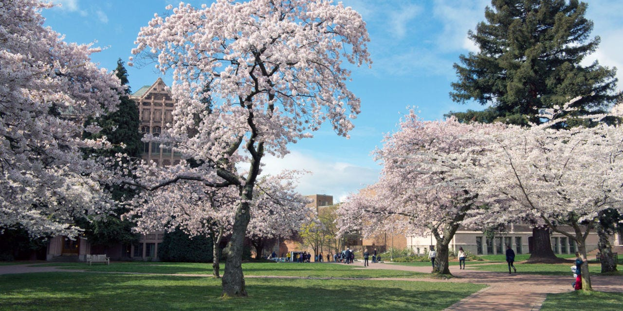 washington.edu   The UW campus' quadhas cherry blossom trees liningthe pathways, getting all the students and nearby locals excited that springtime is here. They are so popular that they even have their own twitter account:@uwcherryblossom.