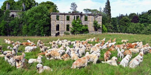 Golden-Retriever-Club-Scotland