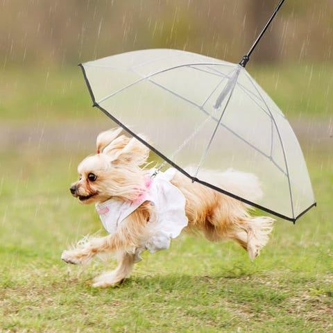 Umbrella, Dog, Canidae, Dog breed, Pomeranian, Fashion accessory, Carnivore, Sporting Group, Companion dog,