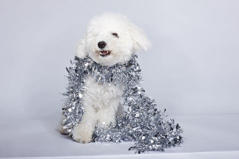 Dog breed, Dog, Carnivore, Vertebrate, Companion dog, Snout, Water dog, Sporting Group, Dog supply, Snow,