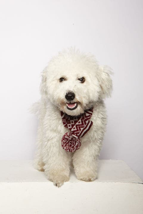 Dog breed, Dog, Carnivore, Mammal, Snout, Tooth, Tongue, Companion dog, Grey, Fur,