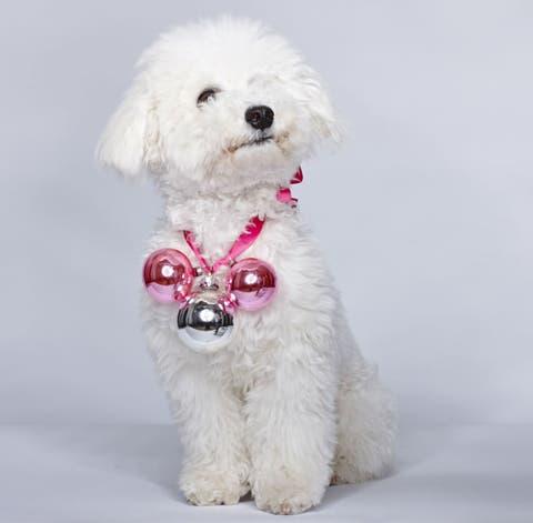 Dog, Carnivore, Vertebrate, Mammal, Dog breed, Pink, Collar, Snout, Companion dog, Grey,