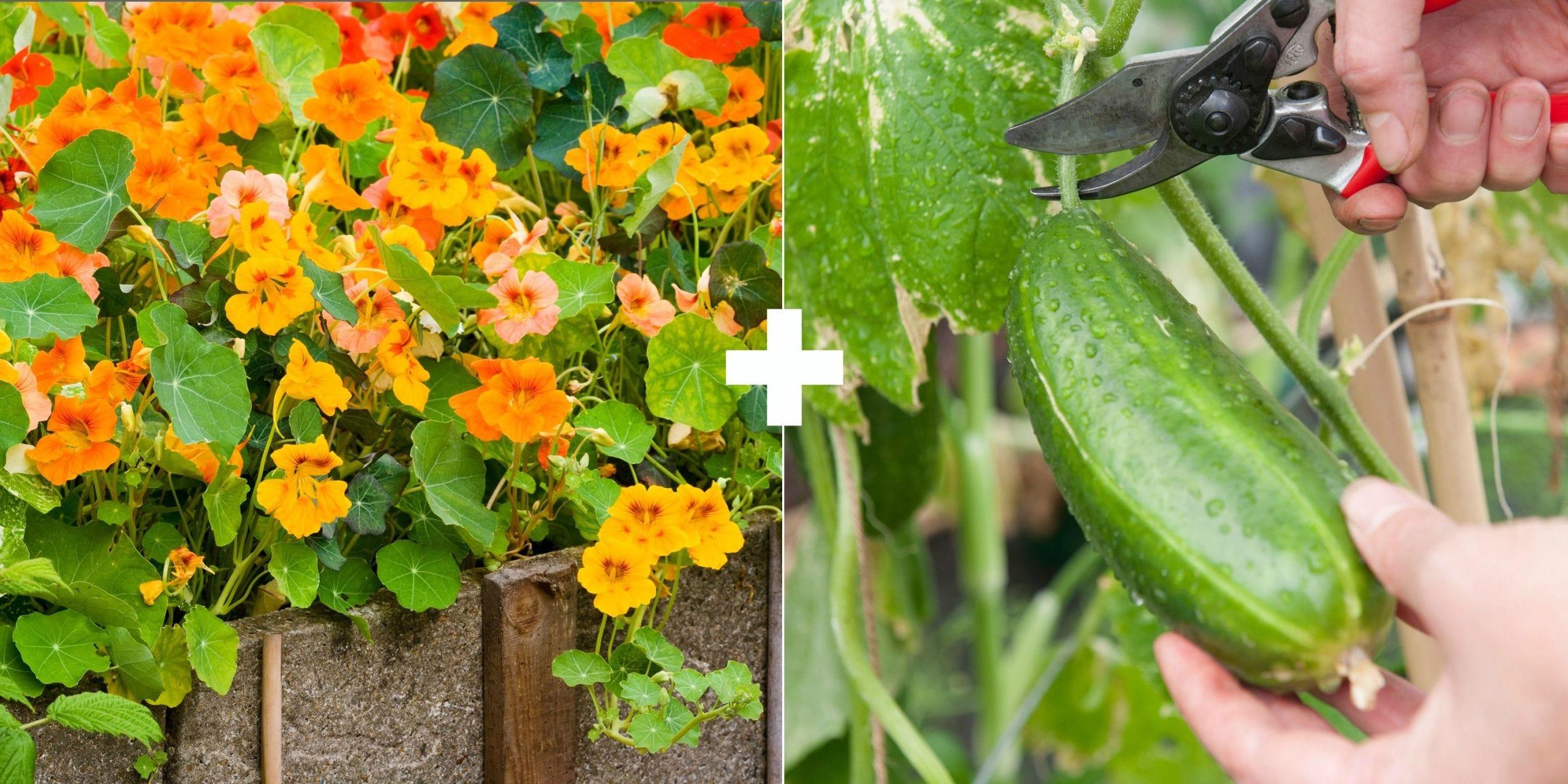 Flower, Plant, Leaf, Flowering plant, Vegetable, Cucumis, Cucumber, Lantana, Impatiens, Annual plant,