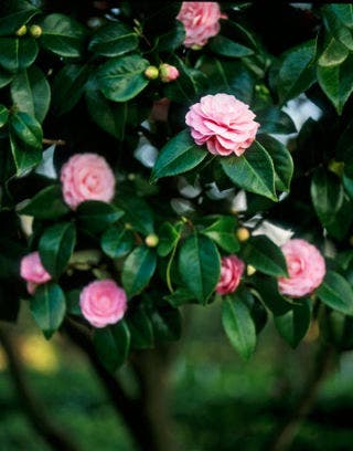 pink camellias on a tree