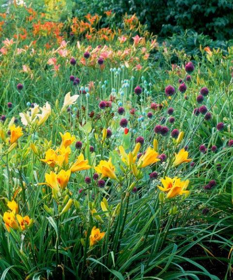 yellow daylilies purple alliums