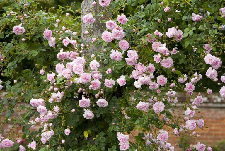 New Dawn Rose - The Best Climbing Roses