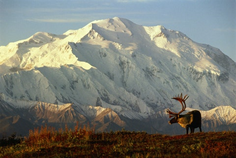 usa, alaska, denali national park, caribou in front of mtmckinley
