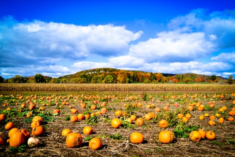 Colourful Pumpkin Patch in the Autumn