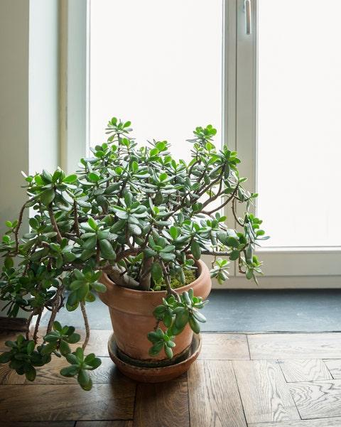 friendship tree crassula ovata plant glass door