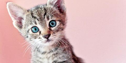 Cat, Mammal, Vertebrate, Small to medium-sized cats, Whiskers, Felidae, Carnivore, Tabby cat, European shorthair, Kitten,