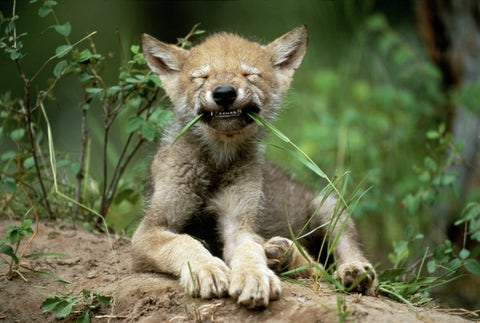 Grey wolf cub (Canis lupus) lying on rock, biting blade of grass