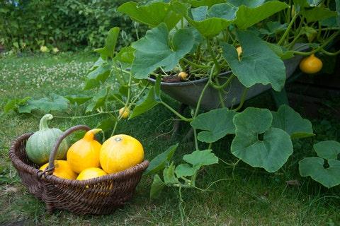 pumpkins in wicker basket