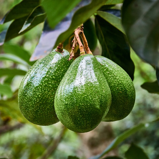 how to grow avocado