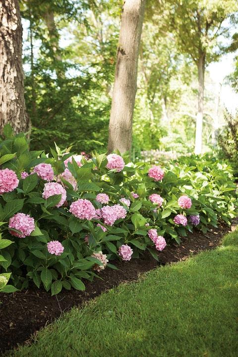 Let's Dance Big Easy Hydrangea hedge