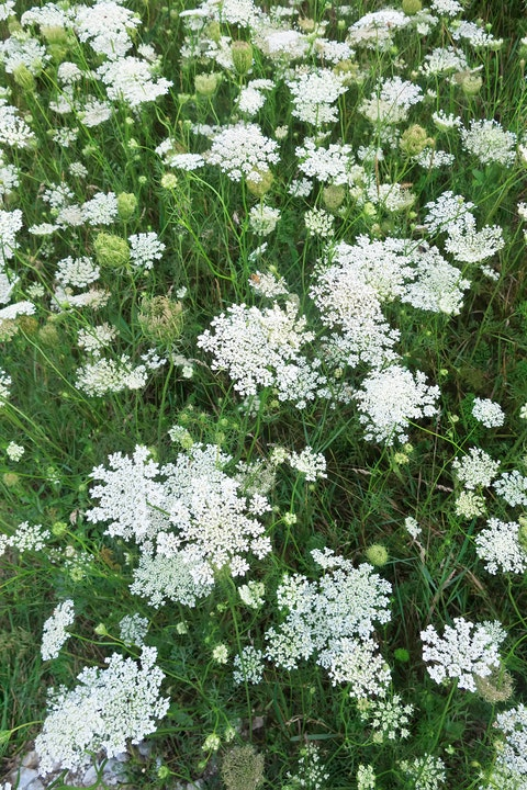 Flower, Flowering plant, Plant, Cow parsley, Evergreen candytuft, Anthriscus, Caraway, Parsley family, Candytuft, Heracleum (plant),