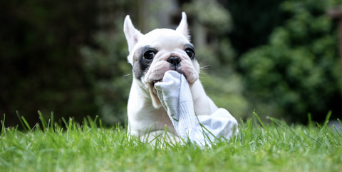 Mammal, Dog, Vertebrate, Canidae, Grass, Dog breed, French bulldog, Green, Companion dog, Toy bulldog,