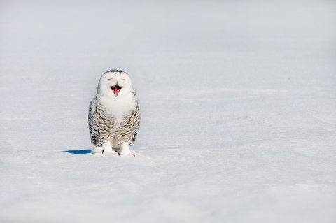snowy owl bubo scandiacus yawning on snowy field in winter, quebec, canada