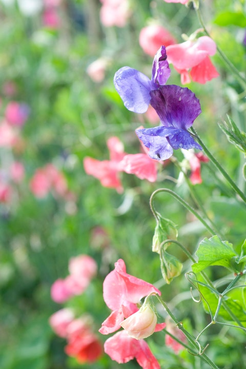 sweet pea flowering vine