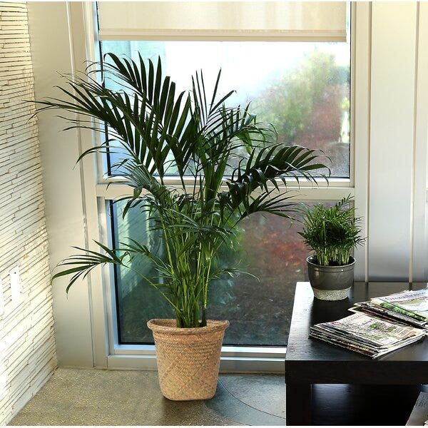 40'' Live Cat Palm Tree in Basket
