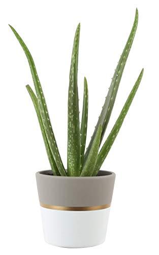 Costa Farms Aloe Vera Live Indoor Plant Ships in Modern Ceramic Planter
