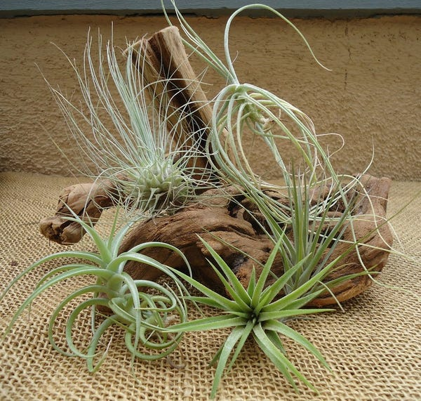 5 Pack Assorted Tillandsia Air Plants Free Shipping