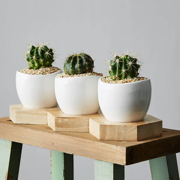 Mini Cactus Trio$54.99