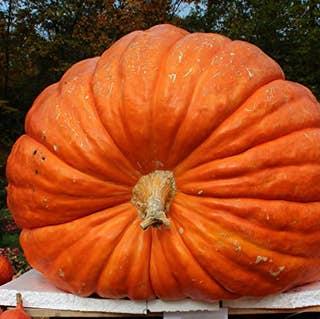 Atlantic Giant Pumpkin Seeds