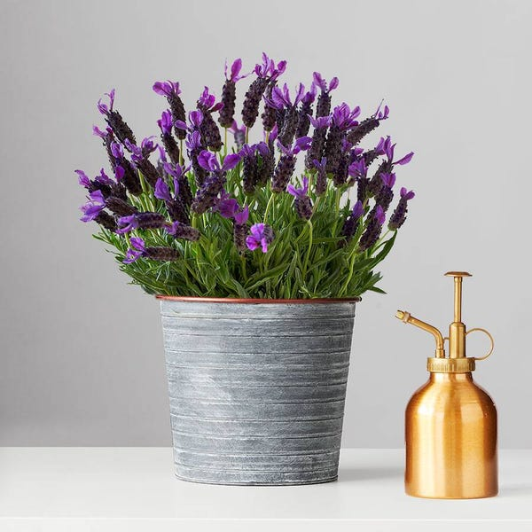 Lavender Blooming Plant