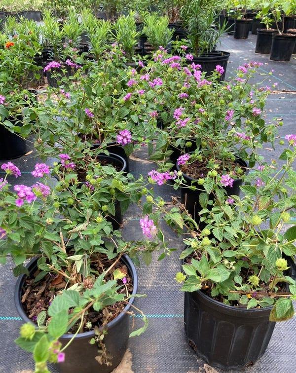 "Purple Trailing Lantana 6"" live plant"