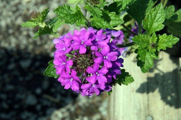 Homestead Purple Verbena Plant