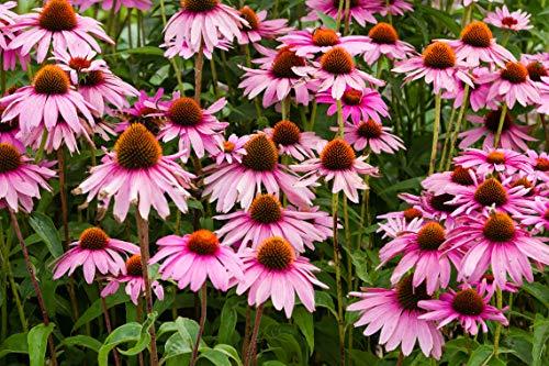 Sweet Yards Seed Co. Purple Coneflower Seeds