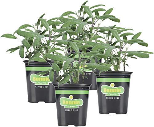 Bonnie Plants Garden Sage Live Herb Plants