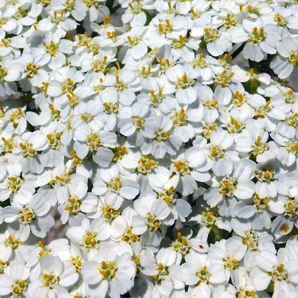 White Yarrow Herb Heirloom Seeds