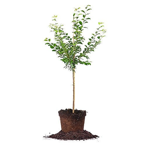 Perfect Plants Methley Plum Live Plant, 4-5', Includes Care Guide