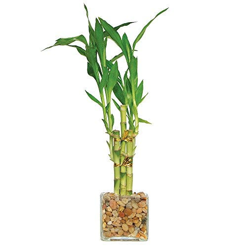 Brussel's Live Lucky Indoor Bamboo - 5 Stalk Straight