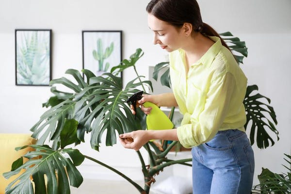 """Monstera Deliciosa 10"""" Large Split Leaf Philodendron Live Indoor Outdoor House Plants"""