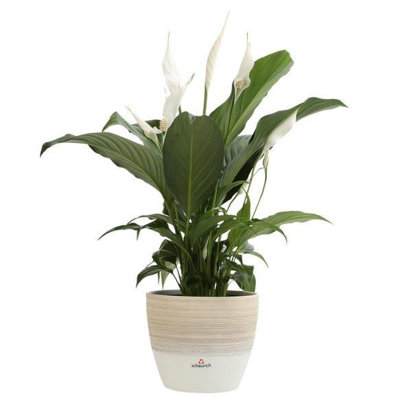 Spathiphyllum Peace Lily Plant in 6 in. Premium Ceramic Pot
