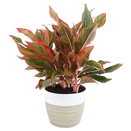 Costa Farms Aglaonema Red Chinese Evergreen Live Indoor Plant