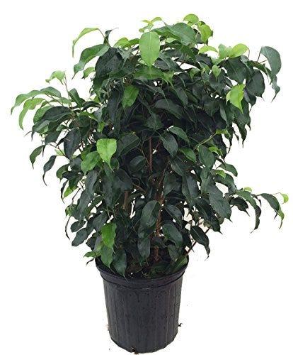 "Wintergreen Weeping Fig Tree - Ficus - Great Indoor Tree for Low Light - 8"" Pot"