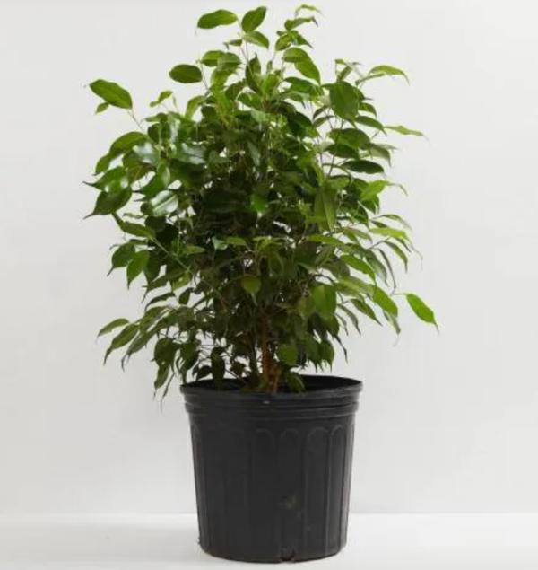 10 in. Weeping Fig Tree (Ficus Benjamina) Plant in Grower Pot
