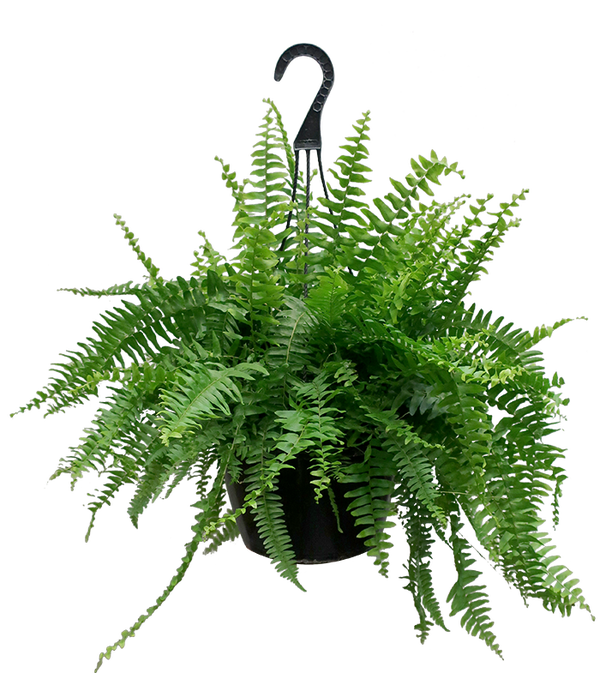 10 in. Boston Fern Hanging Basket Plant with Green Foliage