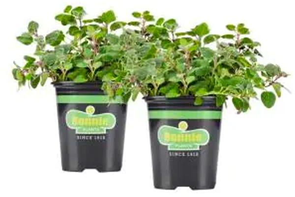 19.3 oz. Sweet Basil Plant 2-Pack