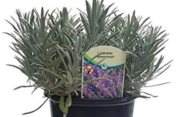 4 in. Pot Phenominal Lavender Plant