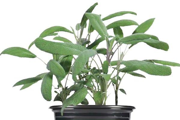 19.3 oz. Garden Sage Plant