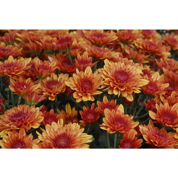 6 in. Orange Chrysanthemum Plant (4-Pack)