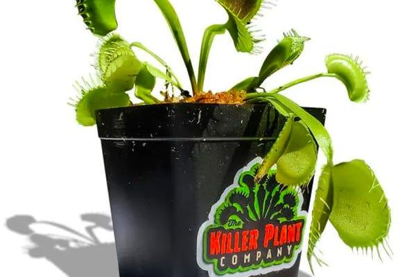 Giant Venus Fly Trap Plant (Dionaea Muscipula) - 3 in. Plant Pot