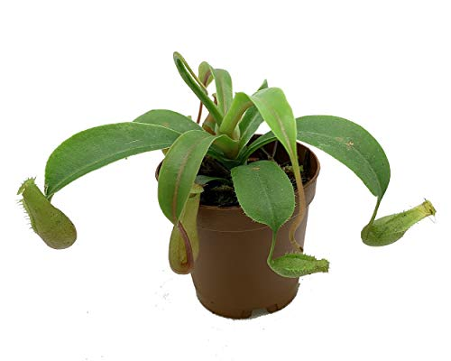 "Asian Pitcher Plant - Nepenthes alata - Carnivorous - Exotic - 2.5"" Pot"