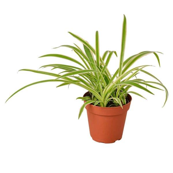 Spider Plant Reverse (Chlorophytum comosum variegatum) Plant in 4 in. Grower Pot