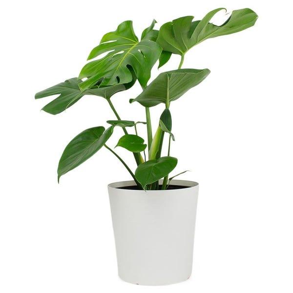 1.9 Gal. Philodendron Monstera Deliciosa Plant in 9.25 in. Designer Pot