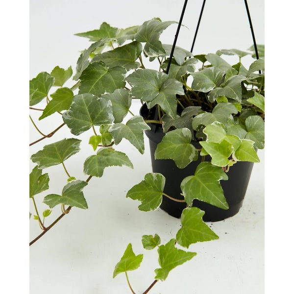 4 in. English Ivy Glacier (Hedera helix Variegata) Plant in Grower Pot